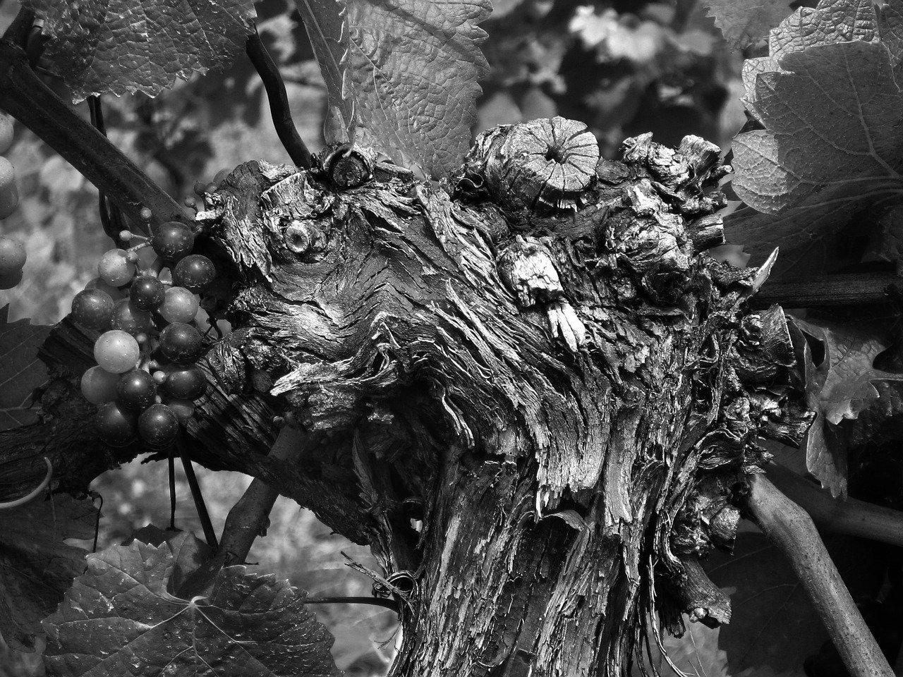 grape-95723_1280